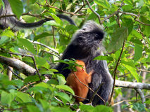 婆罗洲猴子silverleaf 库存照片