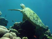 婆罗洲珊瑚绿色礁石sipadan乌龟 库存图片