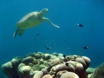 婆罗洲绿浪sipadan乌龟 库存照片