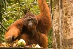 婆罗洲马来西亚男性猩猩semenggoh 库存图片