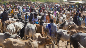 婆罗门公牛、封牛和其他牛一致最大的家畜市场在非洲国家垫铁  Babile 埃塞俄比亚 免版税库存照片