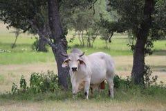 婆罗门公牛在树荫下 库存照片