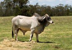 婆罗门公牛 免版税库存图片