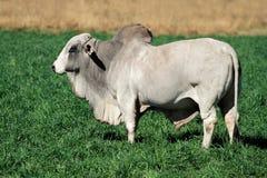 婆罗门公牛 库存照片