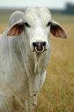 婆罗门公牛 图库摄影