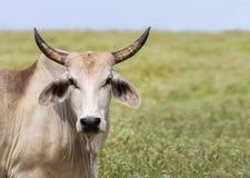 婆罗门或Brahma在从牛品种的美国养殖 免版税库存照片