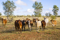 婆罗门牛牧群在内地昆士兰 库存照片