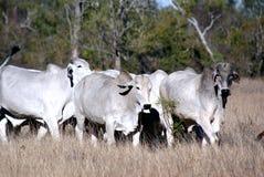 婆罗门牛 免版税库存图片