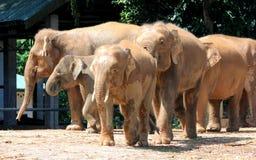 婆罗洲侏儒大象 库存照片