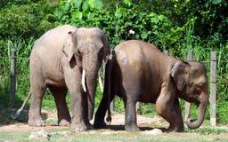 婆罗洲侏儒大象 库存图片