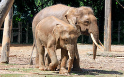 婆罗洲侏儒大象 免版税库存图片