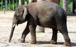 婆罗洲侏儒大象 免版税库存照片