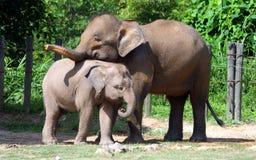 婆罗洲侏儒大象 图库摄影