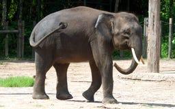 婆罗洲侏儒大象 免版税图库摄影