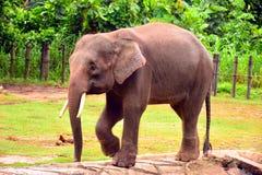 婆罗洲大象,也称婆罗洲侏儒大象 免版税库存照片
