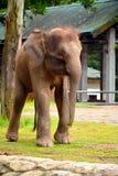 婆罗洲大象,也称婆罗洲侏儒大象 免版税图库摄影