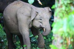 婆罗洲大象 免版税库存图片