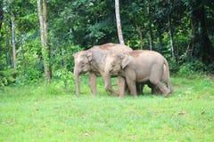 婆罗洲大象 库存照片