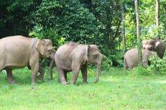婆罗洲大象 图库摄影