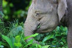 婆罗洲大象 库存图片