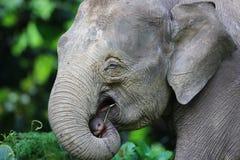 婆罗洲大象 免版税图库摄影