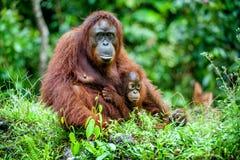 婆罗洲崽女性栖所亲吻妈咪当地猩猩雨木头 Bornean猩猩(类人猿o pygmaeus wurmmbii)在狂放的自然 图库摄影