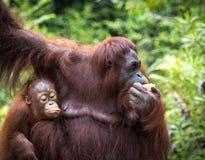 婆罗洲猩猩家庭 图库摄影