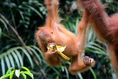 婆罗洲猩猩, Semenggoh,沙捞越,马来西亚 免版税库存图片