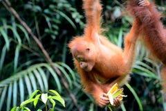 婆罗洲猩猩, Semenggoh,沙捞越,马来西亚 库存照片