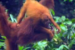 婆罗洲猩猩, Semenggoh,沙捞越,马来西亚 免版税图库摄影
