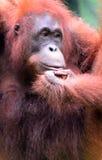婆罗洲猩猩, Semenggoh,沙捞越,马来西亚 免版税库存照片