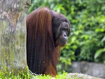 婆罗洲猩猩 免版税库存照片