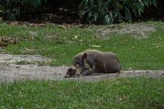 婆罗洲的有胡子的猪在草& x28旁边说谎; Kumai, Indonesia& x29; 免版税库存照片