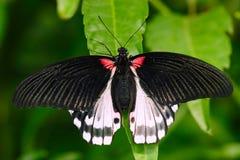 从婆罗洲的美丽的蝴蝶 猩红色swallowtail, Papilio rumanzovia,坐绿色叶子 昆虫在黑暗的热带前面 库存照片