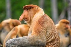 婆罗洲的长鼻猴(鼻肌larvatus)地方病 免版税图库摄影