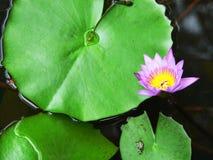 婆罗洲莲花植物 免版税图库摄影