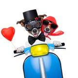 结婚的狗 免版税库存图片