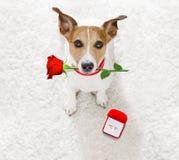 婚礼与婚姻圆环的提案狗 免版税库存图片
