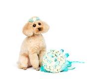 婚礼狗 与夹子和新娘花束的玩具狮子狗 免版税库存照片