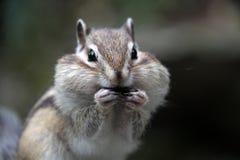 贪婪的花栗鼠 免版税库存图片