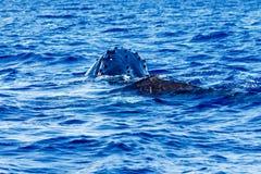 婴孩与它的母亲的驼背鲸 库存照片