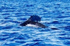 婴孩与它的母亲的驼背鲸 免版税库存图片
