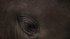 婴孩亚洲大象亚洲象属maximus的眼睛 关闭视图 影视素材