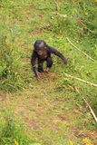婴孩倭黑猩猩走行程的猴子二 免版税库存照片
