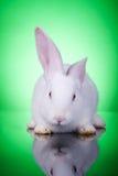 婴孩兔宝宝白色 图库摄影