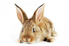 婴孩兔宝宝 图库摄影