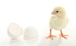婴孩出生的鸡 图库摄影