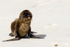 婴孩加拉帕戈斯狮子海运 免版税图库摄影
