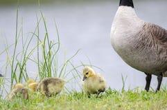 婴孩加拿大鹅小鱼苗,乔治亚,美国 免版税库存照片