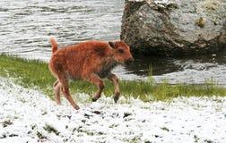 婴孩北美野牛腾跃雪春天 免版税库存图片